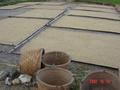 #8: Freshly harvested rice, spread out on bamboo mats to dry in the sun.