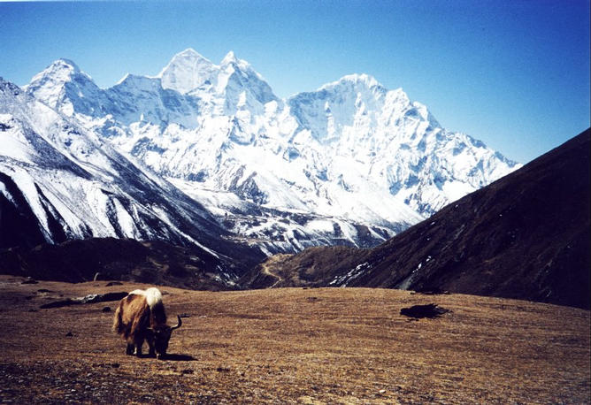 Yak and Ama Dablam