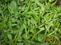 #6: Freshly picked tea leaves