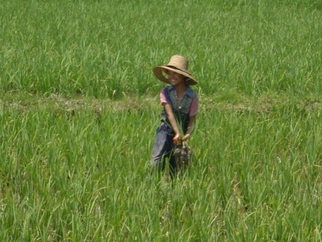 Pulling up rice plants from fields that have become too congested