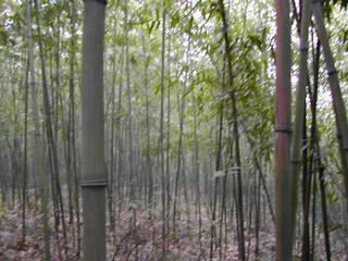 #1: Confluence Point in a Bamboo Grove facing West