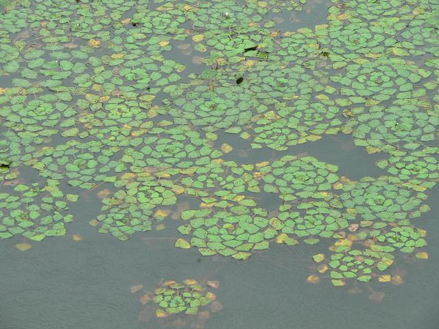 Duckweed in lake west of confluence.
