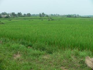 #1: Looking north from vehicle track, confluence in foreground rice paddy.