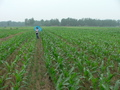 #2: Ah Feng crossing the wheat-cum-cornfields east of the confluence