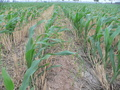 #6: Young corn plants growing amongst the stalks of recently harvested wheat