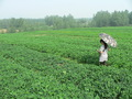#4: Ah Feng crossing a field of peanuts on her way to the confluence