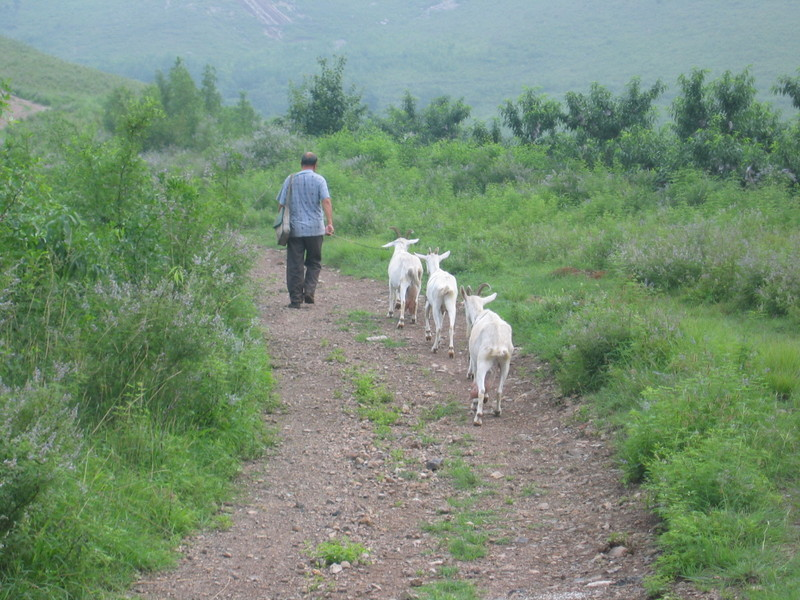 A Goatherd walking by