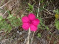 #3: Brightly coloured small wildflower