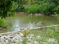 #4: Ducks in the canal