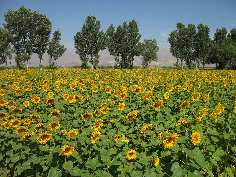 Sunflowers field at west side of 41N107E