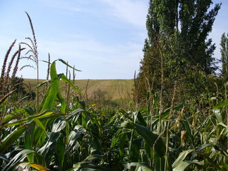 #1: View northwest (note: corn stalks higher than myself!)