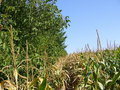 #3: Southeast: tree line and corn field