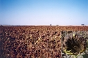 #6: Sunflower field at the other si