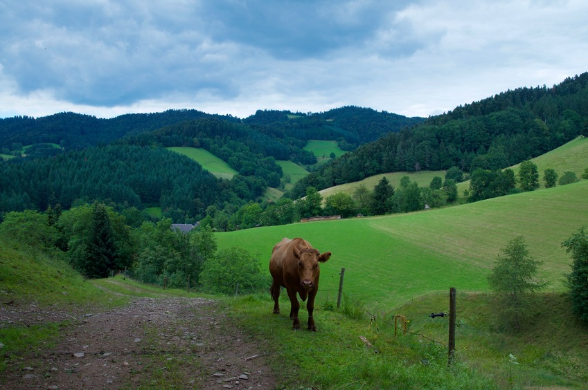 A view of the countryside (including a curious cow) just 200 m or so from the point