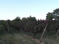 #6: A small grape field on the opposite corner