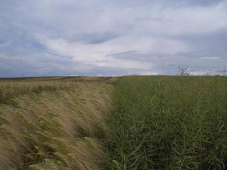 #1: CP in rape field (right), view from south