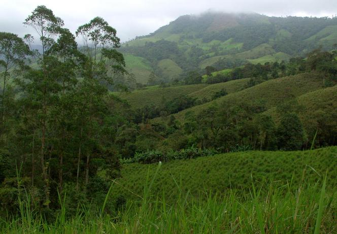 East - Banana patch and cow grass fields