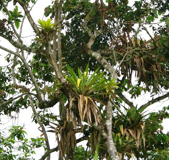 South - Epiphytes in trees