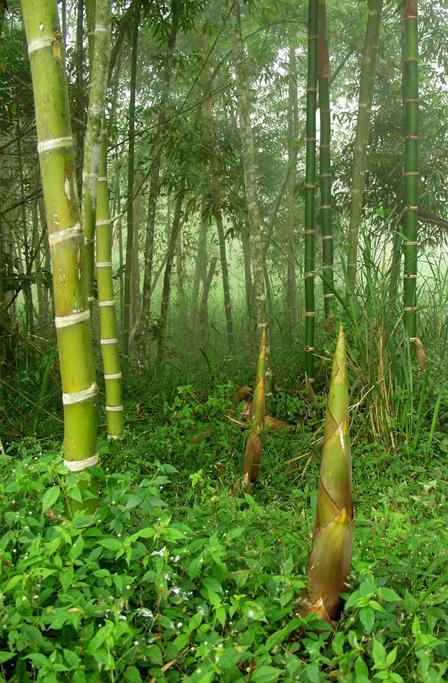 Giant bamboo shoots by stream in confluence