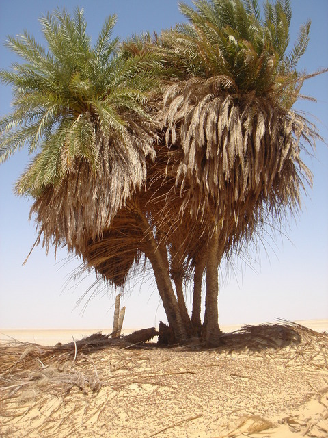 One cluster of the palm trees at Bi'r Nukhayla