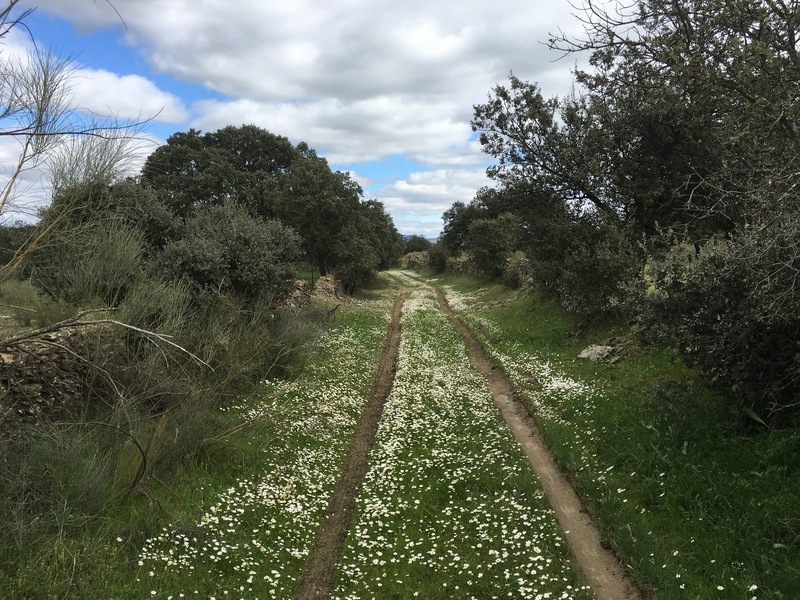 Track to the Confluence with daisies