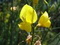 #4: Scotch broom (Ginster)