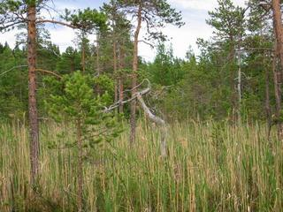 #1: Grey old pine tree