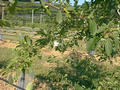 #8: One of the young apple trees
