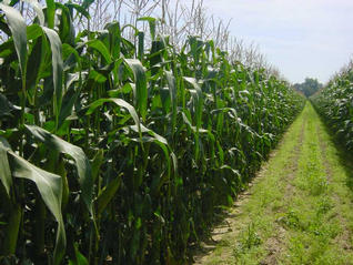 #1: Heading South, path in the middle of the corn field