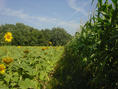 #4: Heading North, the path between sunflowers and corn