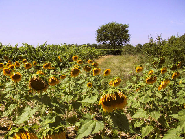 View from the sunflower field at the confluence