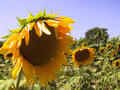 #4: Some sunflowers