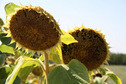 #8: Sunflowers