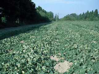 #1: View of the confluence point in the middle of a melon field