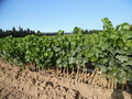 #6: Vine nursery stocks? in nearby field