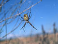 "#3: ""Beautiful"" black-yellow spider in lavender field"