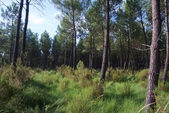 #1: The confluence point lies within long grass, at the edge of a pine forest
