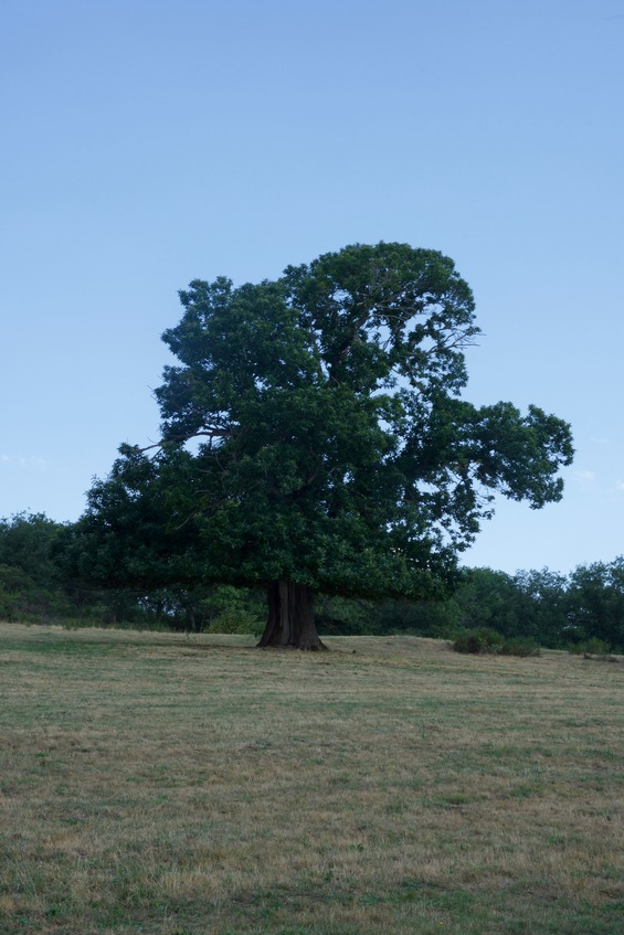 A close-up view of the impressive-looking oak tree, just East of the point