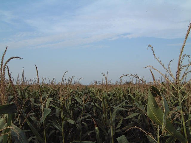 View to the north: corn again