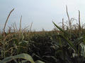 #4: View to the south: even more corn
