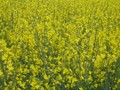 #8: Rapeseed in full colours and full detail