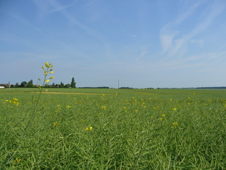#1: View to the North: rape field