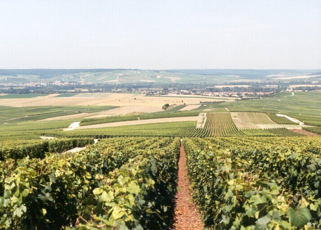 Chardonnay vineyards, the Marne Valley, Epernay