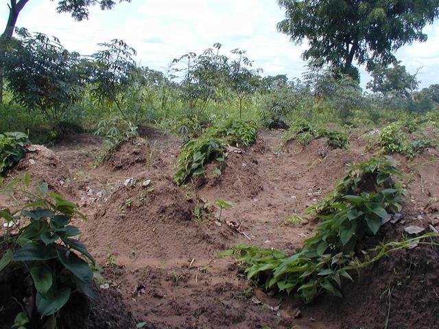 Manioc and yam fields close by.