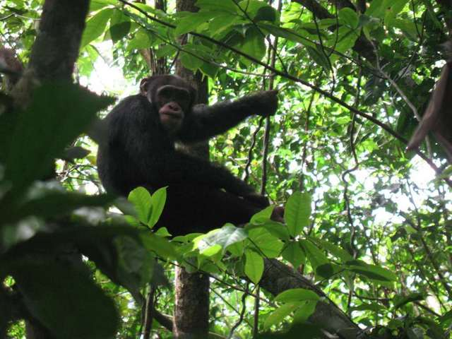 Chimpanzee in the wild