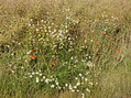 #9: Flowers (chamomile and poppies) at the field edge / Ромашка и маки у обочины
