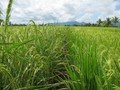 #6: Path through the rice fields