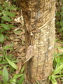 #4: the hevea tree at the confluence - note the smart leave to collect the rub...