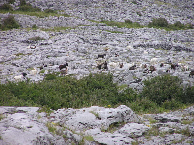 A herd of goats, seen en route to the confluence point