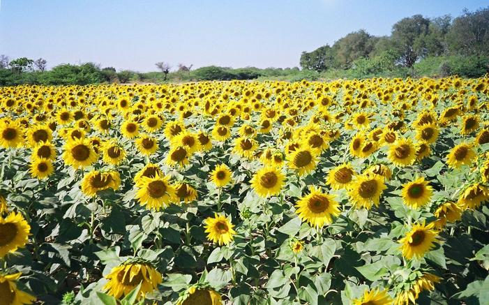 Sunflower farm near 14N77E